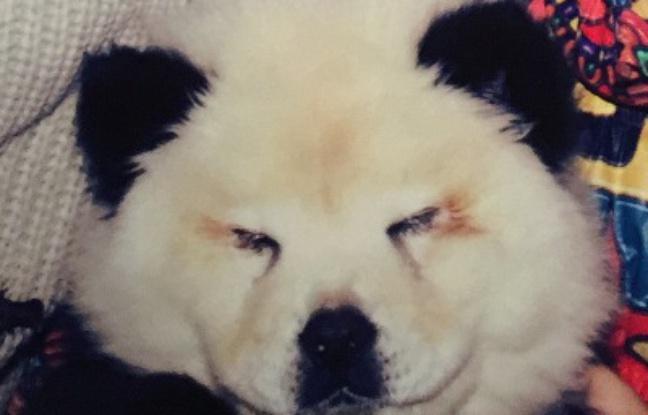 648x415_chien-transforme-panda-cirque-italien